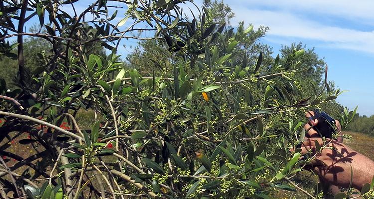 Oleum Flumen, l'spà de les olives
